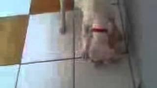 Dogo Argentino Brutality boar hunt
