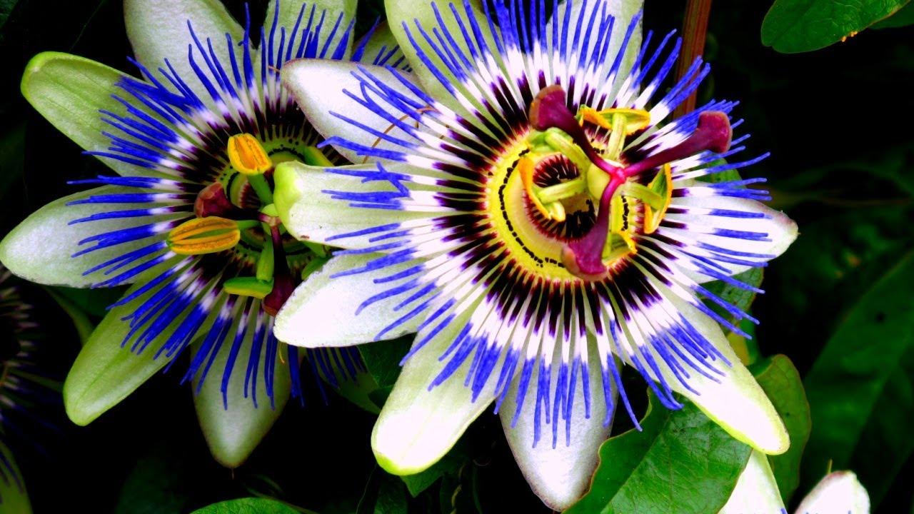 blue passion vine passiflora caerulea new tasty fruit. Black Bedroom Furniture Sets. Home Design Ideas