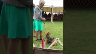 Norwich terrier speciality dog show 2019