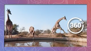 Its Hard to Get a Drink Around Here | Giraffe Try to Drink in 360 5K thumbnail