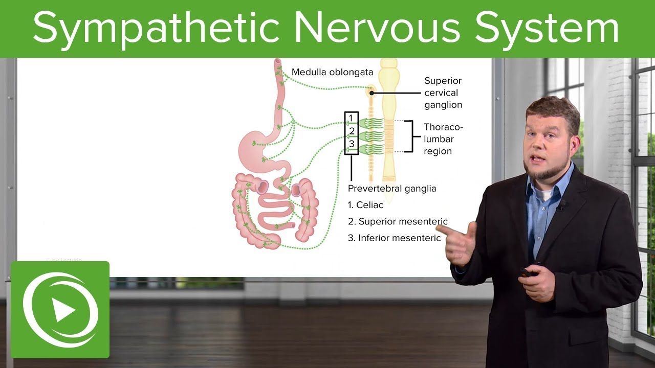 Sympathetic Nervous System – Physiology | Lecturio