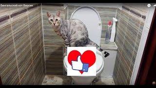 Как приучить кота к унитазу. Бенгальский кот Вирсик. 猫