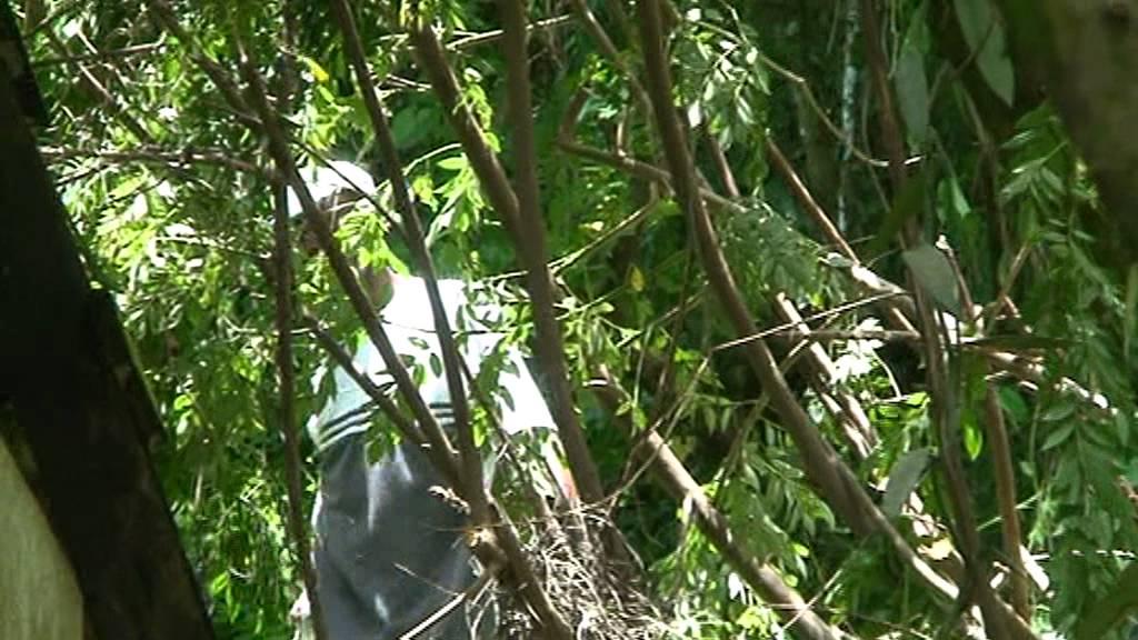 Découpe de bois àla tronçonneuse à Bois Jadé 2 derrière Morne en  ~ Decoupe De Bois