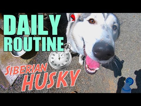 Daily Routine Of A Siberian Husky - (What My Dog Does All Day!)