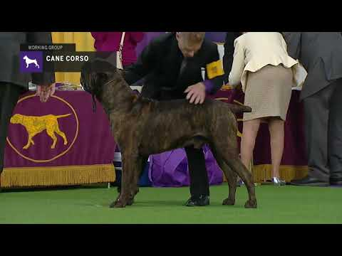 Cane Corso | Breed Judging (2019)