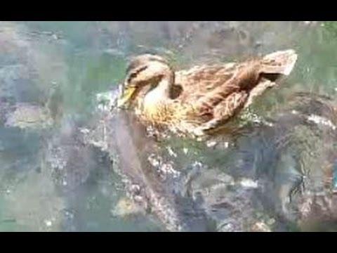 Animals Fighting For Food Mallard Ducks vs Carps...