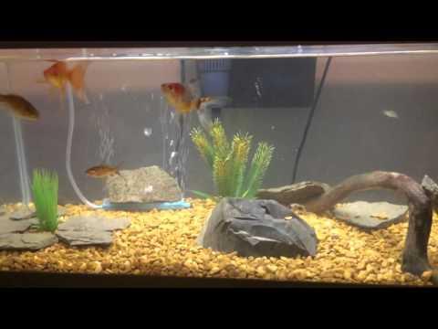 Goldfish And Cory Catfish