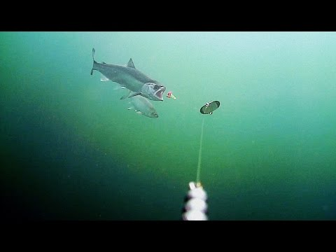 Water Wolf 1.0: Riffe Lake Coho Compilation