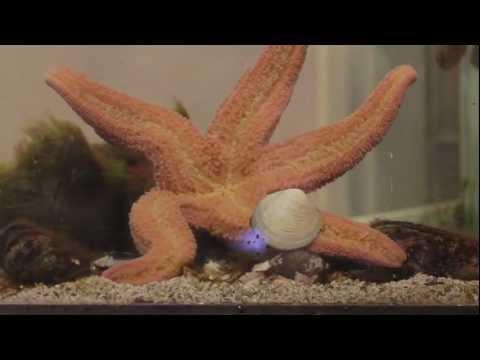 Star Fish Eating Clam