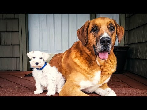 110 Pound Dog VS. 4 Pound Miniature Schnauzer Puppy - Jackson Meets Maverick