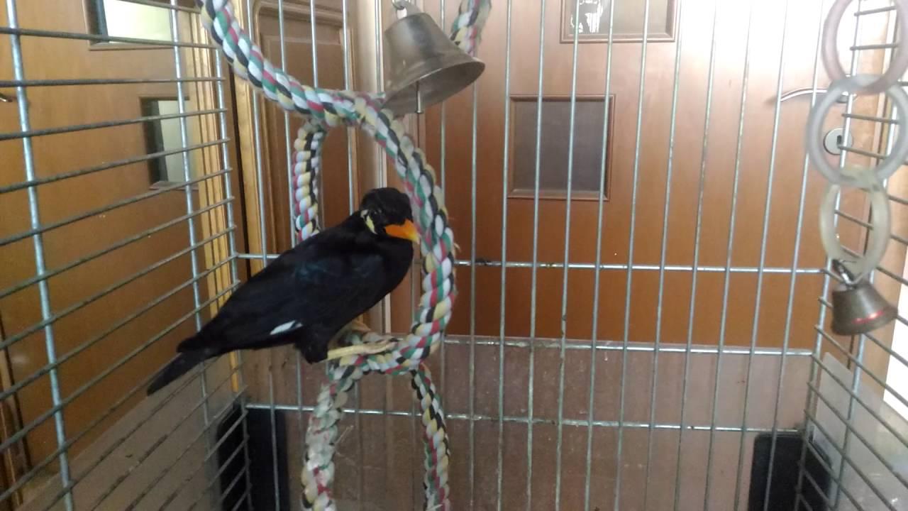 Скачать видео про птицу священная майна фото 93-259