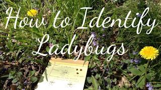 How to Identify Ladybugs (Ladybirds)