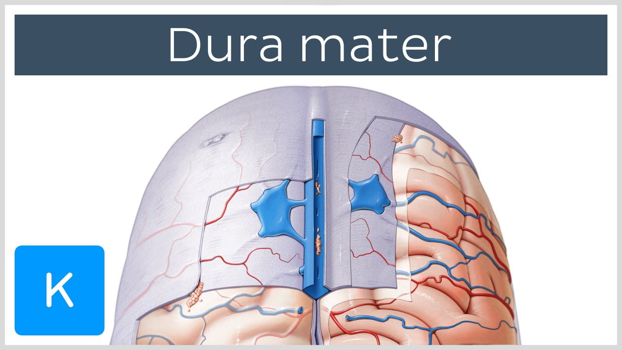 small resolution of dura mater function location layers neuroanatomy kenhub youtube