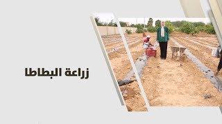 م. أمل القيمري - زراعة البطاطا