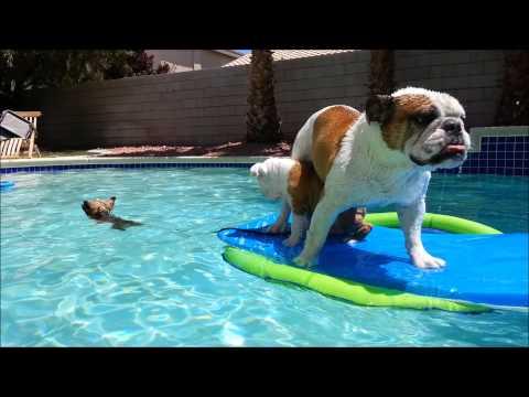 3lb Yorkie Rescues Bulldogs in Swimming Pool