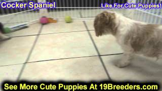 Cocker Spaniel, Puppies, For, Sale, In, Newark, New Jersey, Nj, Woodbridge, Iselin, Pleasantville, R