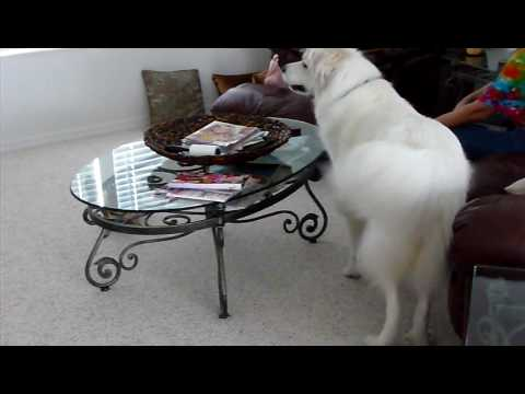 Great Pyrenees and chihuahua play hide a seek
