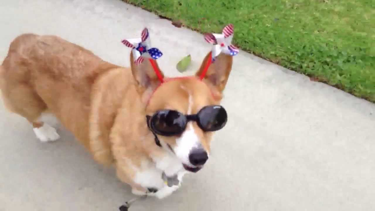 4th of july by dale corgi   happy birthday america   youtube