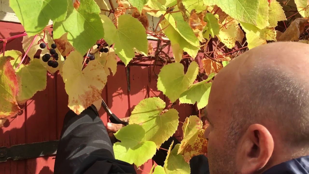 Picking grapes in our garden in Norway. - YouTube
