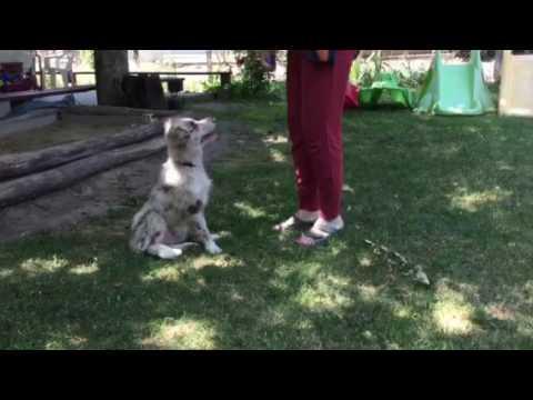 Border collie puppy under training