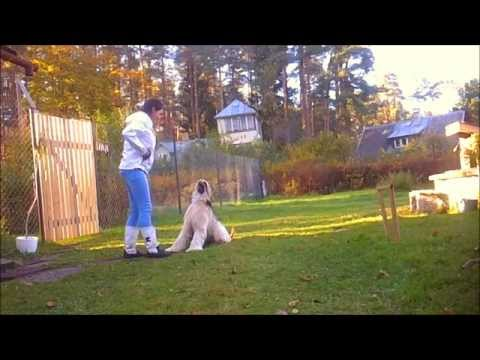 Afghan hound tricks without treats