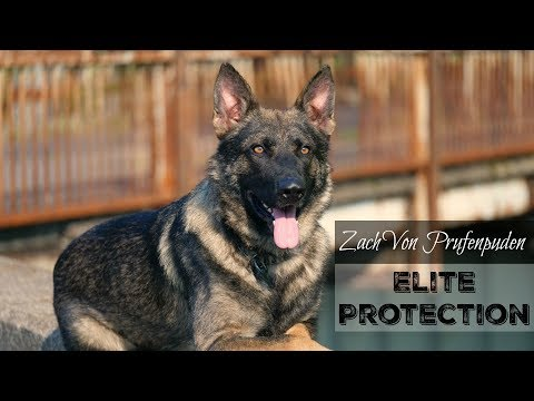 """Zach"" Elite Executive Level Family Protection Dog For Sale $85,000"