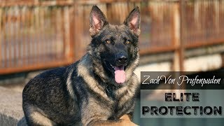 """Zach"" Elite Executive Level Family Protection Dog For Sale"
