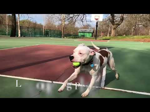 1.5 Yr. Pit Bull (Ace) Incredible Transformation | Arkansas Dog Training | Off Leash K9 Training