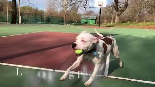 1.5 Yr. Pit Bull (Ace) Incredible Transformation | Arkansas Dog Training | Off Leash K9 Training
