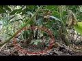Terekam Kelakuan Burung Jongkangan Dialambebas  Mp3 - Mp4 Download