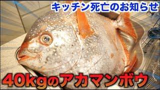キッチン大惨事!!40kgのアカマンボウの解体したらエグすぎた!! thumbnail