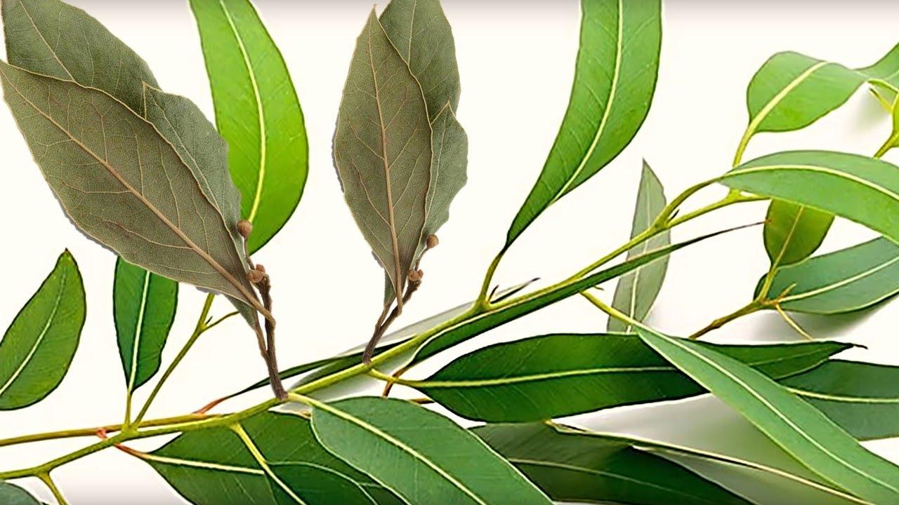 Para que sirve el eucalipto como planta medicinal for Planta decorativa con propiedades medicinales