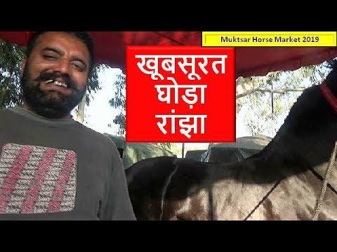 Jet Black Indian Marwari Stallion - Ranjha At Muktsar Horse Mela 2019