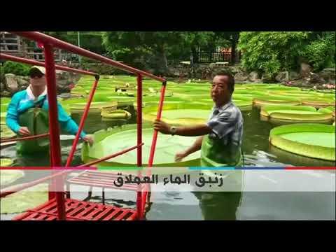 BBC عربية:بي_بي_سي_ترندينغ | #بالفيديو: زنبق الماء العملاق يحمل وزنا يصل لـ65 كيلوغراما