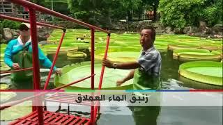 بي_بي_سي_ترندينغ   #بالفيديو: زنبق الماء العملاق يحمل وزنا يصل لـ65 كيلوغراما