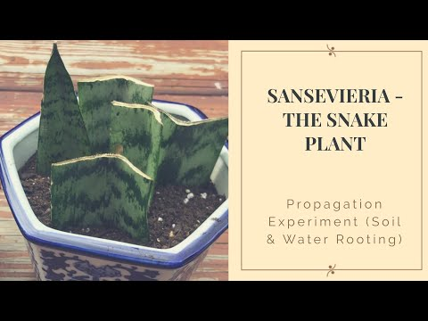 First Attempt to Propagate a Sansevieria (Snake Plant)