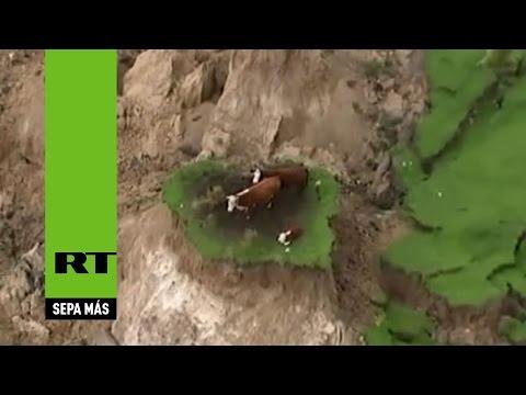Tres vacas con suerte: se salvaron de un terremoto al quedar al borde del derrumbe