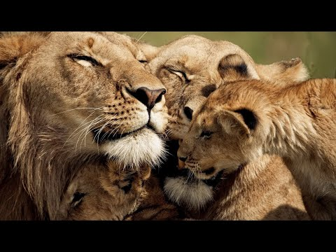 The Strongest LION PRIDE in Luangwa Valley – National Geographic Documentary 2020 (Full HD 1080p)