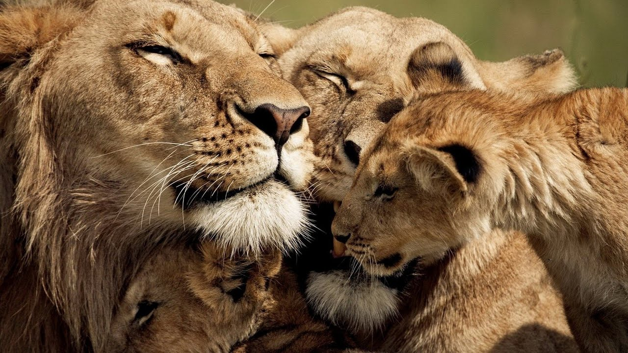 Download The Strongest LION PRIDE in Luangwa Valley - National Geographic Documentary 2020 (Full HD 1080p)