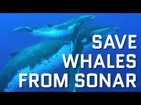 Whales Should Not Have to Suffer and Die for Military Practice