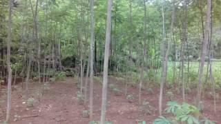 Sengon Solomon Rongkop Gunungkidul Kel TANI RUKUN MULYO - Kang Wardi 0852284558571