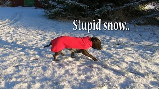 A Staffies worse Nightmare, the snow is here.. ( Staffy  Staffordshire Bull Terrier )