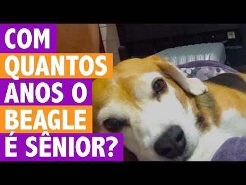 Você Sabe Com Quantos Anos O Beagle Fica Sênior