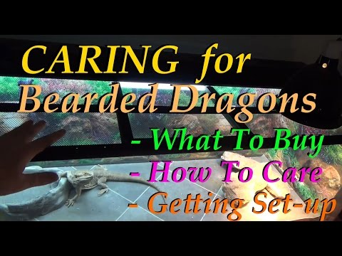 Caring for a Bearded Dragon - What To Expect, What To Buy, & How To Set Up Their Home