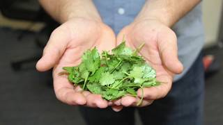 When and how to harvest cilantro