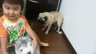 パグ犬ムゥが子どもに取られたぬいぐるみを必死に取り返そうとしていま...