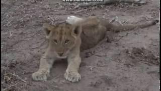 Młode lwy - dziki świat Afryki ,, Safari