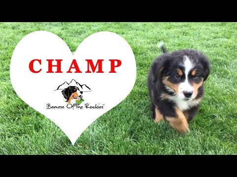 Bernese Mountain Dog Puppy Champ - Going Home Week