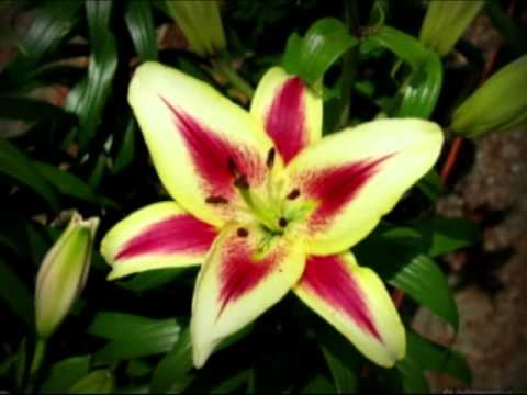 beautiful lily flower pictures, Natural flower