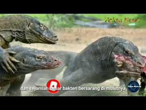 ternyata-komodo-di-indonesia-berasal-dari-australia,-7-fakta-komodo